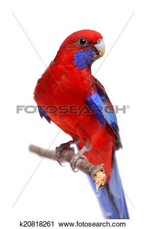 Stock Photography of Crimson Rosella on white k20818261.