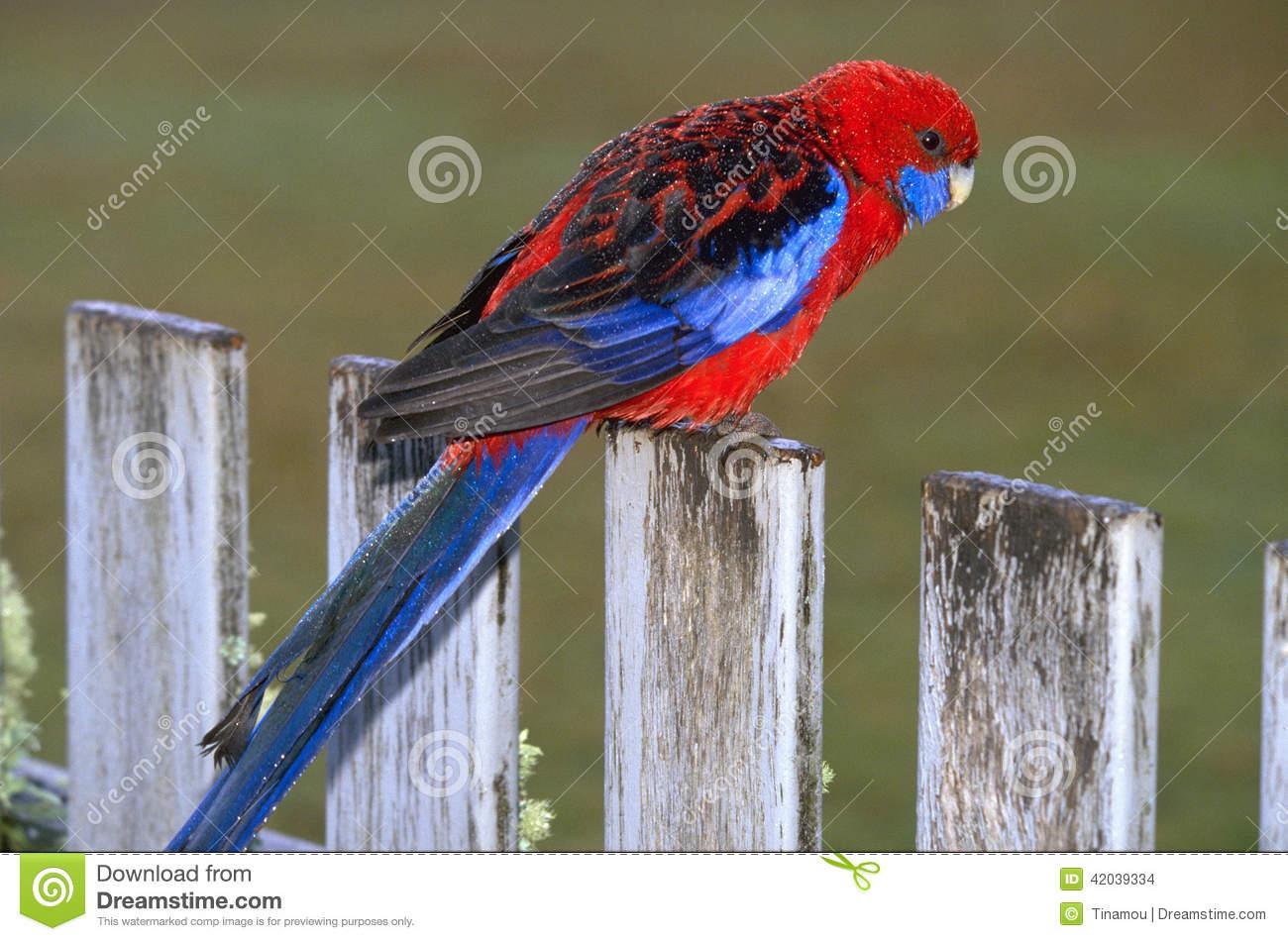 Crimson Rosella Parrot In Flight Stock Photo.