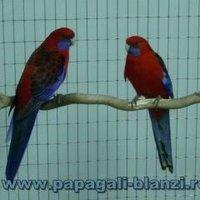 Crimson Rosella Clipart, Sm 5 Cm Wide/wwtumblrcom/share Pictures.
