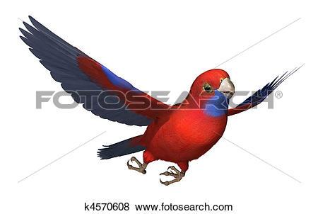 Stock Illustration of Crimson Rosella Parrot in Flight k4570608.