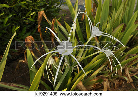 Pictures of Swamp Lily (Crinum pedunculatum) k19291438.