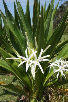 Acacia fimbriata.