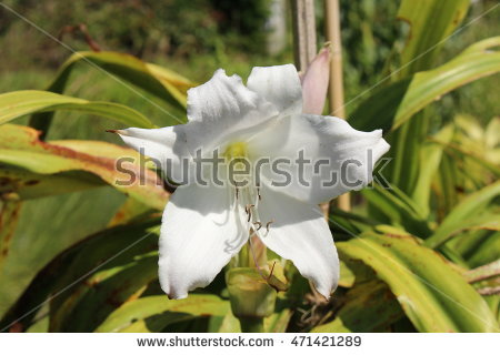 """crinum_asiaticum"" Stock Photos, Royalty."