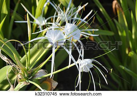 Stock Image of Swamp Lily (Crinum pedunculatum) k32310745.