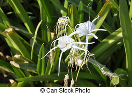 Swamp lily Stock Photos and Images. 1,074 Swamp lily pictures and.