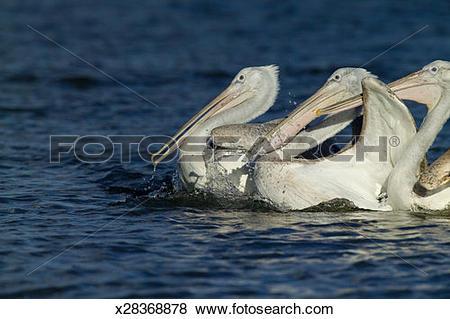 Pictures of Dalmatian Pelicans (Pelecanus crispus) x28368878.