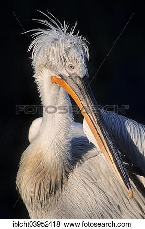 """Pictures of """"Dalmatian Pelican (Pelecanus crispus), native to."""