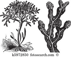 Chondrus crispus Clip Art and Illustration. 2 chondrus crispus.