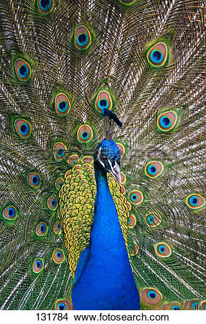Stock Photo of Indian peafowl.