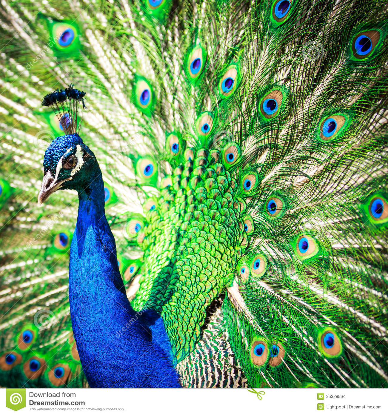 Splendid Peacock With Feathers Out Stock Images.