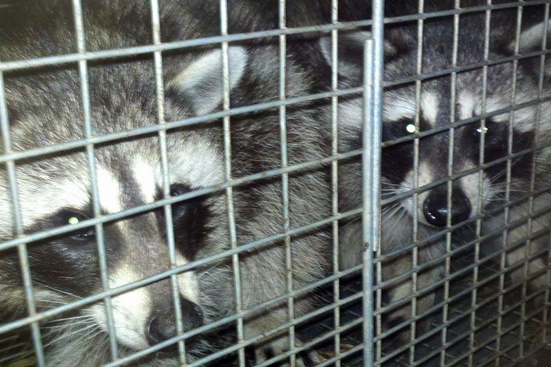 Raccoon Removal Services.