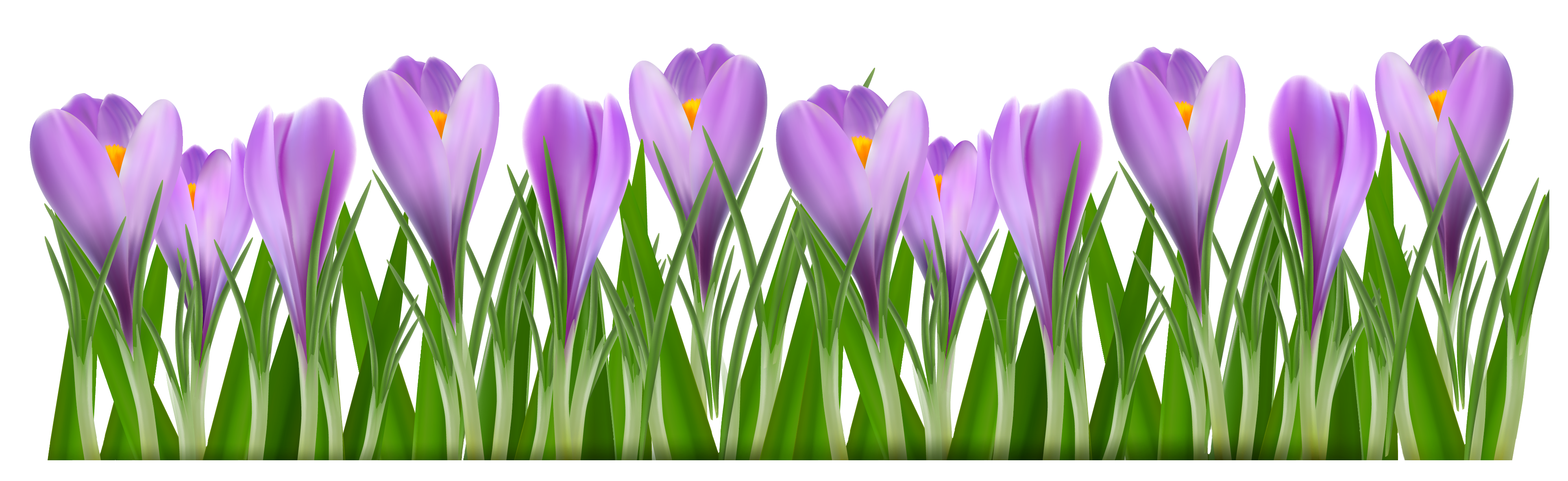 spring crocus clipart clipground
