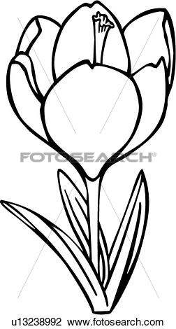 Clipart of , crocus, flower, varieties, u13238992.