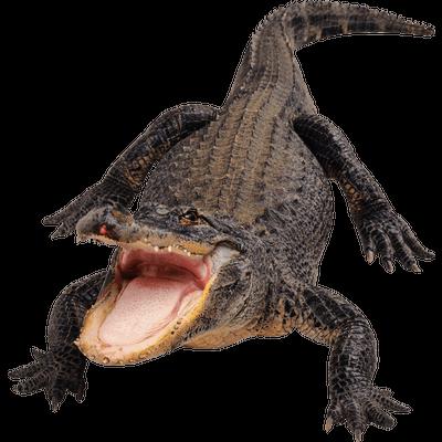 Crocodile Head Right transparent PNG.