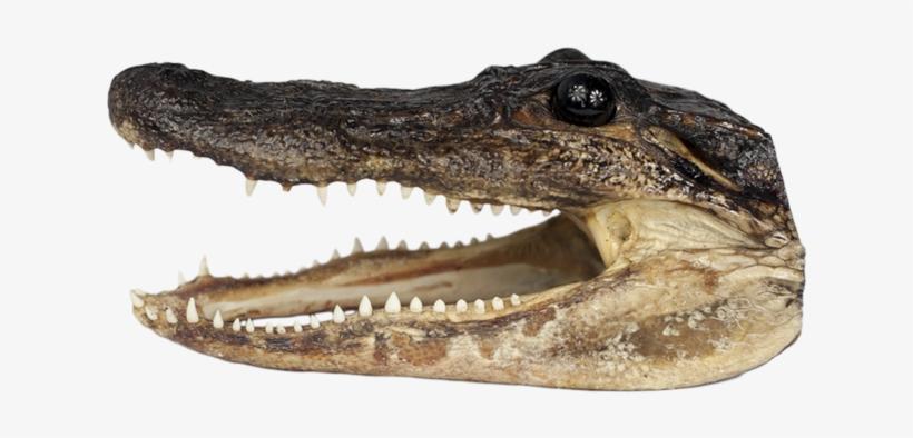Med Gator Head.