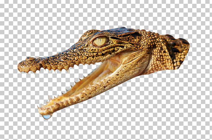 Nile Crocodile Alligator Animal PNG, Clipart, 3d Animation.