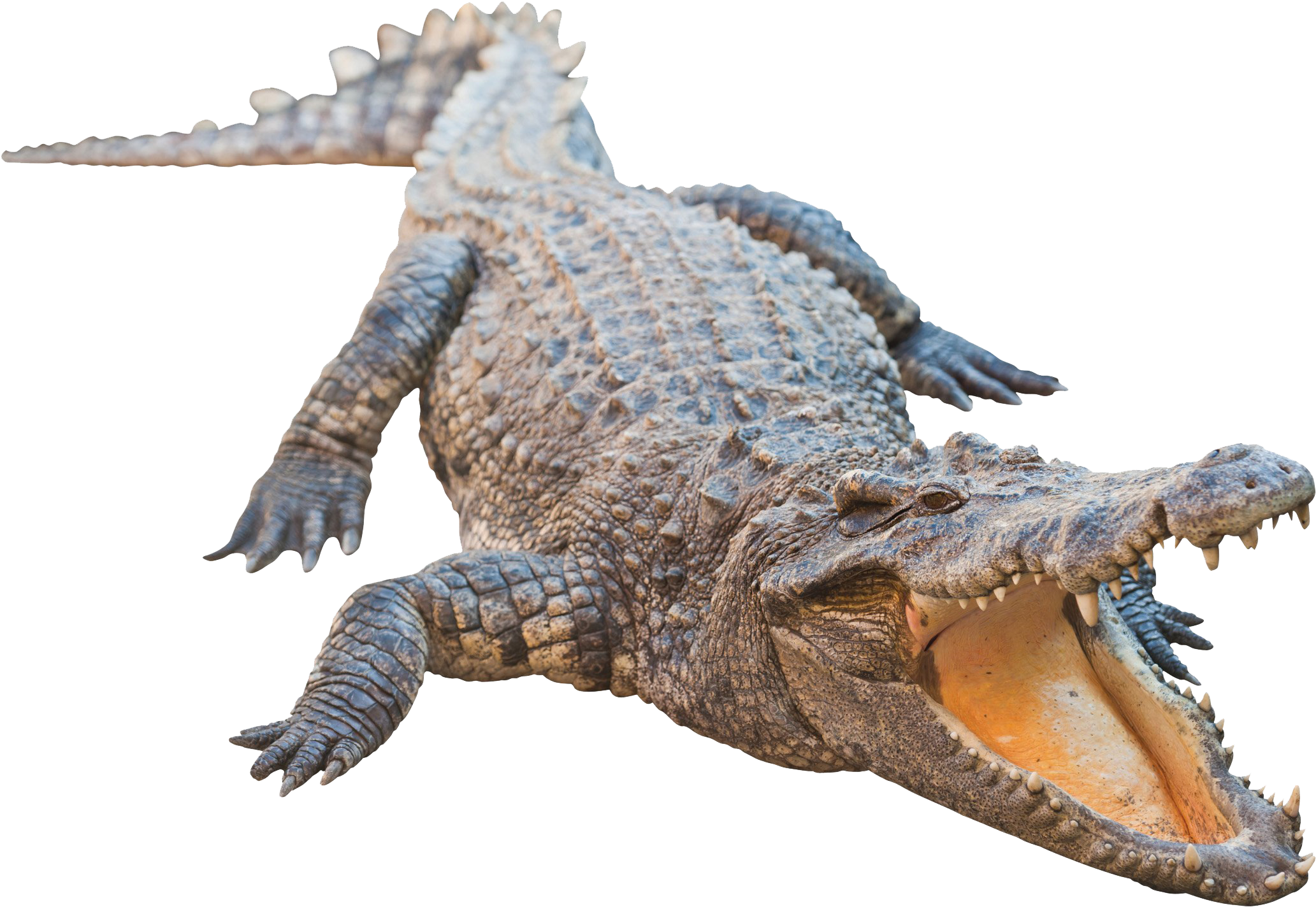 HD Real Alligator Transparent Image.