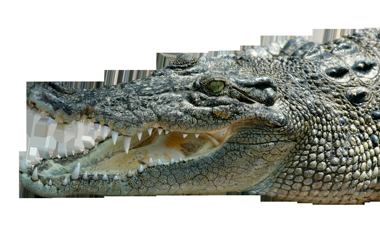 Crocodile PNG Image.