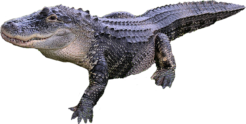 Download Free png Crocodile PNG, Download PNG image with transparent.