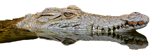 Crocodile PNG Images Transparent Free Download.
