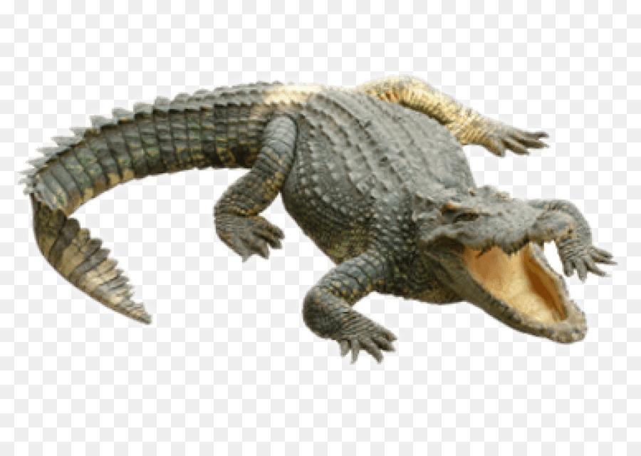 Alligator Cartoon png download.