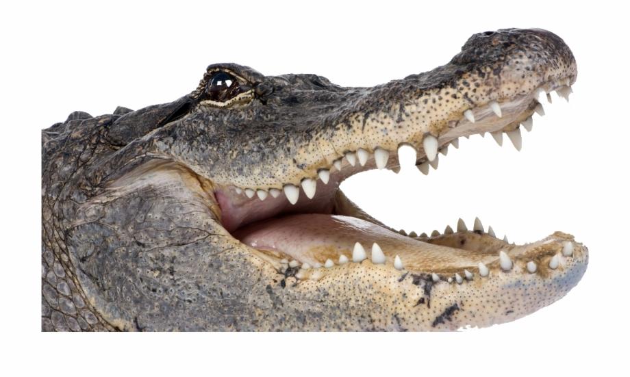 Crocodile Png Transparent Picture.