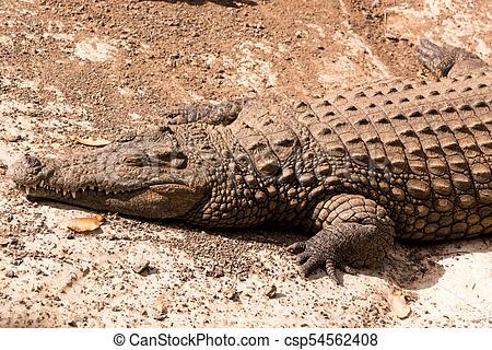 View on a lazy crocodile or alligator.
