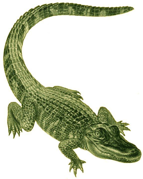 Alligator+Tattoo+Drawings.