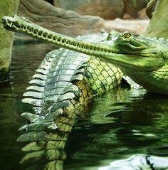 321 Best Crocodylia images.