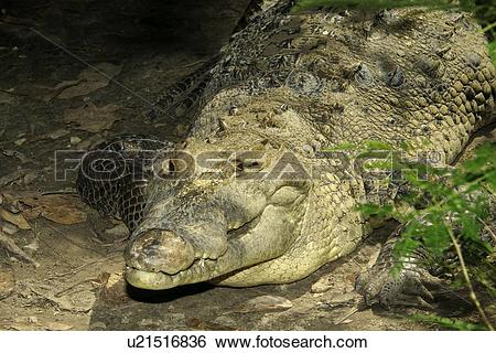 Stock Images of American crocodile (Crocodylus acutus) basking.