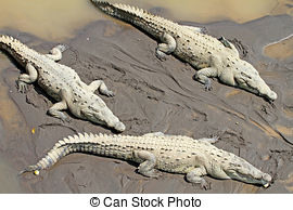Stock Photo of American crocodile (Crocodylus acutus) swimming in.