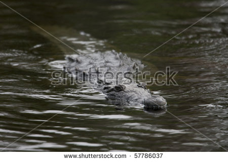 "crocodile_in_water"" Stock Photos, Royalty."