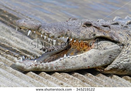 "basking_croc"" Stock Photos, Royalty."