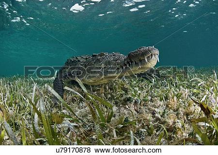 "Pictures of ""American crocodile (crocodylus acutus) in clear."