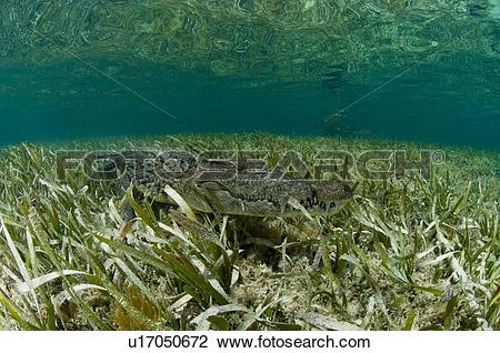 "Stock Photo of ""American crocodile (crocodylus acutus) in clear."