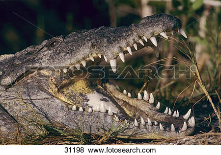 Pictures of American crocodile.