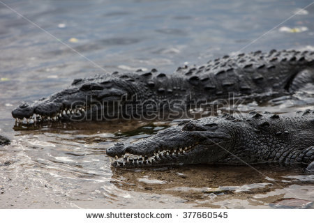 Crocodile Underwater Stock Photos, Royalty.