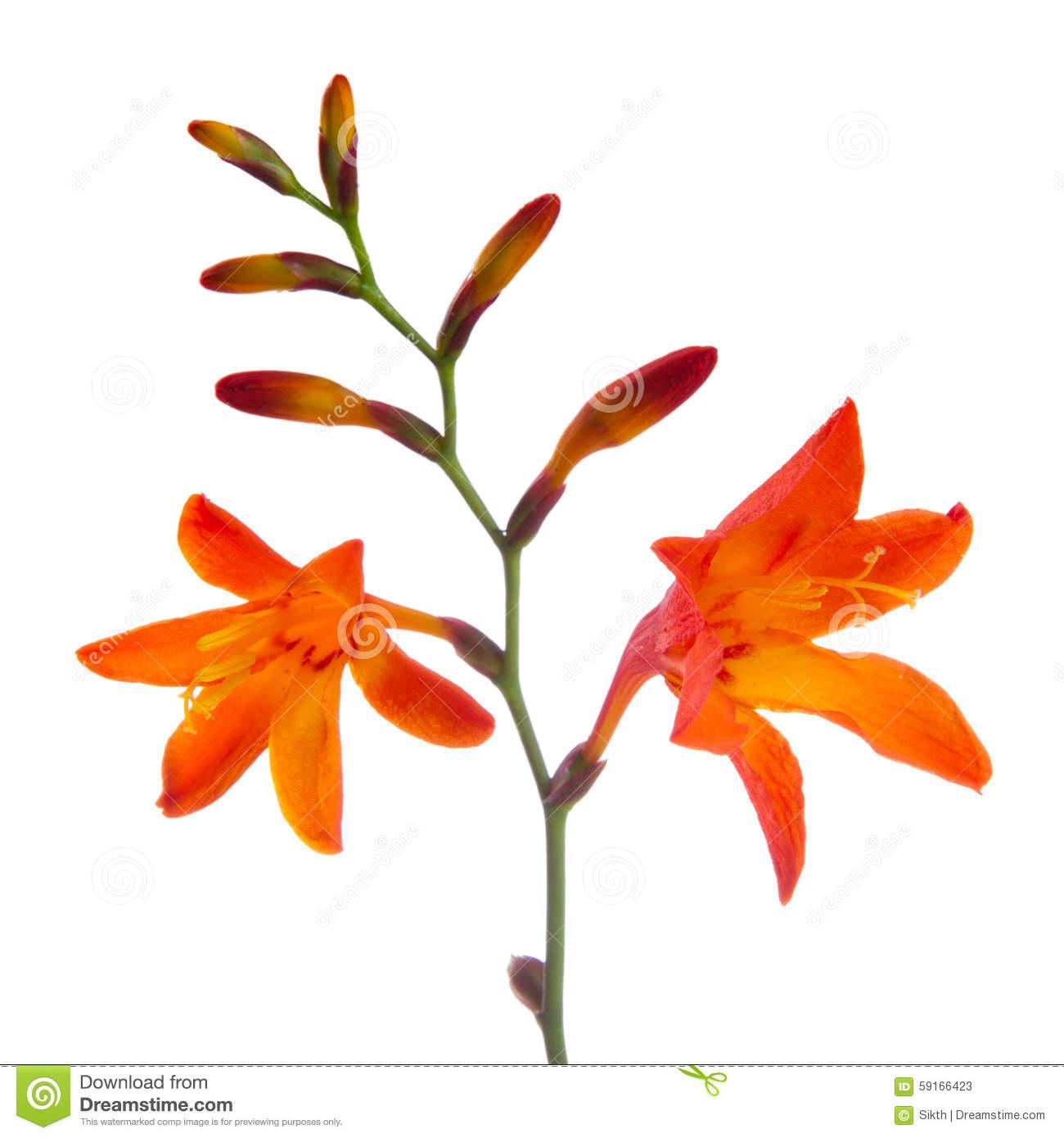 Montbretia Crocosmia Orange Flower Stock Photo.