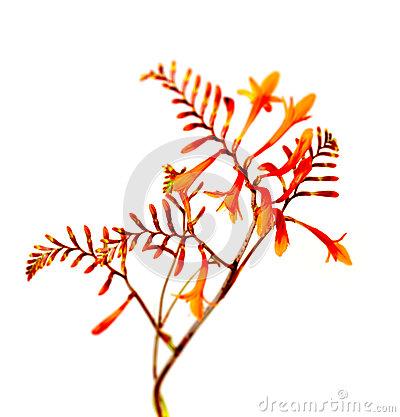 Crocosmia Montbretia Masonorum Flower And Foliage Royalty Free.