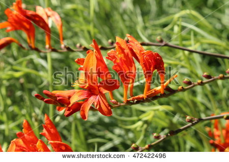 Crocosmia Stock Photos, Royalty.