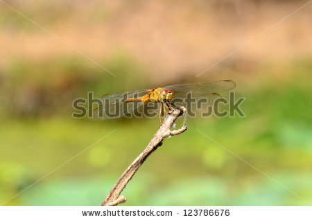 Eastern Scarlet Darter Stock Photos, Images, & Pictures.