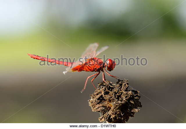 Beautiful Dragonfly In Forest Stock Photos & Beautiful Dragonfly.