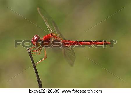 "Stock Photo of ""Scarlet skimmer, crimson darter (Crocothemis."