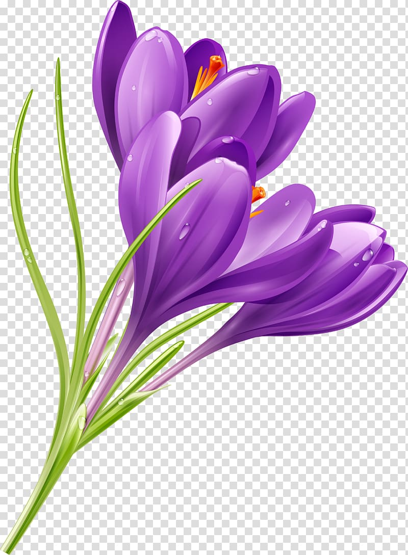 Crocus Flower Purple , crocus transparent background PNG clipart.