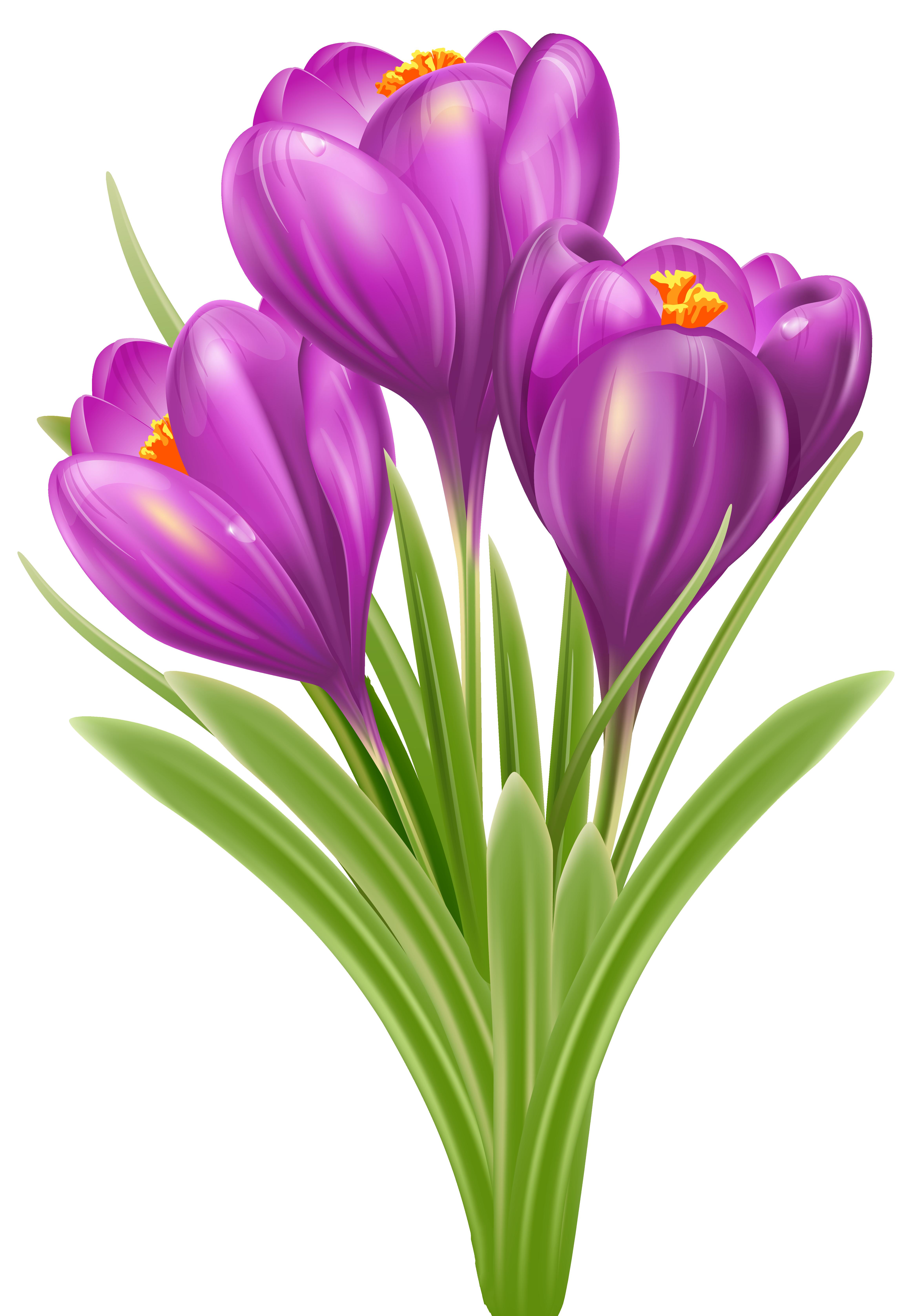 Spring Crocus PNG Image.