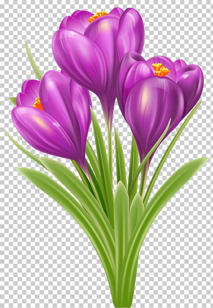 Crocus chrysanthus Crocus vernus , Spring Crocus , purple.