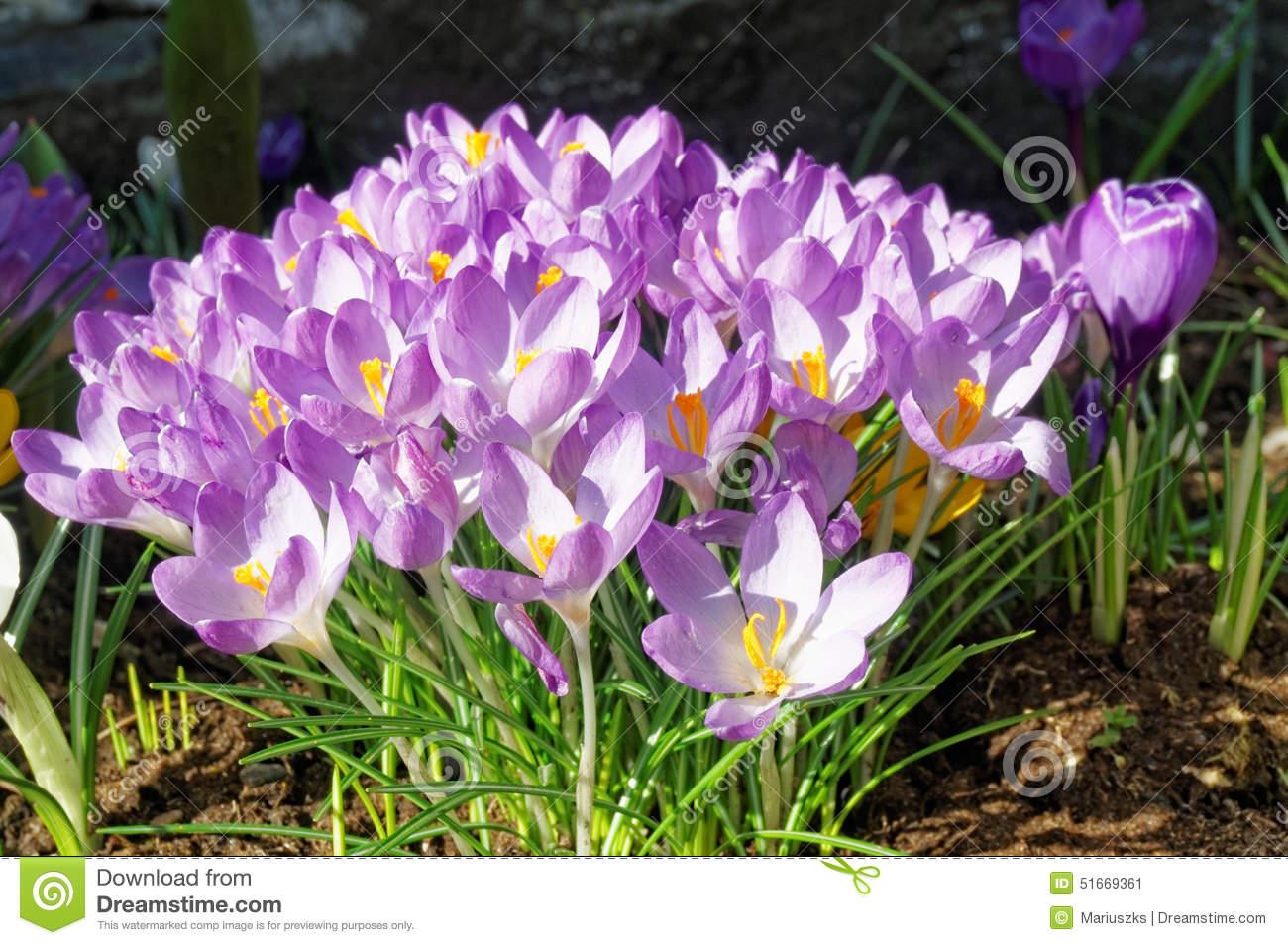 Crocus Longiflorus Flowers In Spring, Norway Stock Photo.