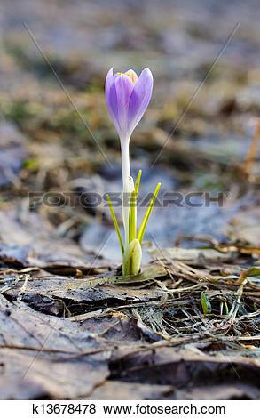 Pictures of Crocus sativus k13678478.