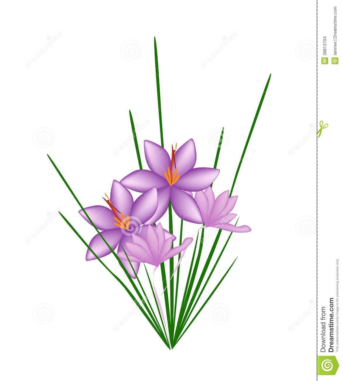Purple Crocus Sativus Flower On White Background Stock Vector.