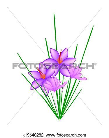 Clipart of 2Purple Crocus Sativus Flower on White Background.